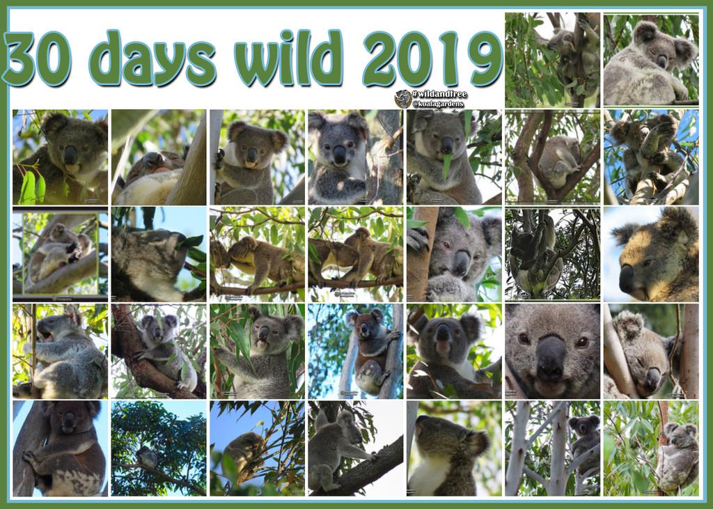30 wild koala days by koalagardens