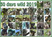 2nd Jul 2019 - 30 wild koala days