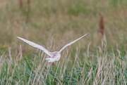 2nd Jul 2019 - Barn Owl doing what it always does at the moment-leaving