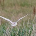 Barn Owl doing what it always does at the moment-leaving