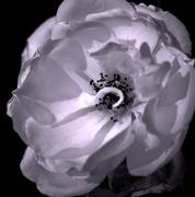 1st Jul 2019 - white rose
