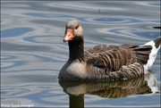 3rd Jul 2019 - Grey lagged goose