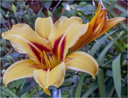 3rd Jul 2019 - Asiatic Lily