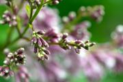 29th Jun 2019 - Lilacs in the rain