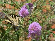 3rd Jul 2019 - Yellow Butterfly