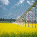 Irrigating the Canola by 365karly1