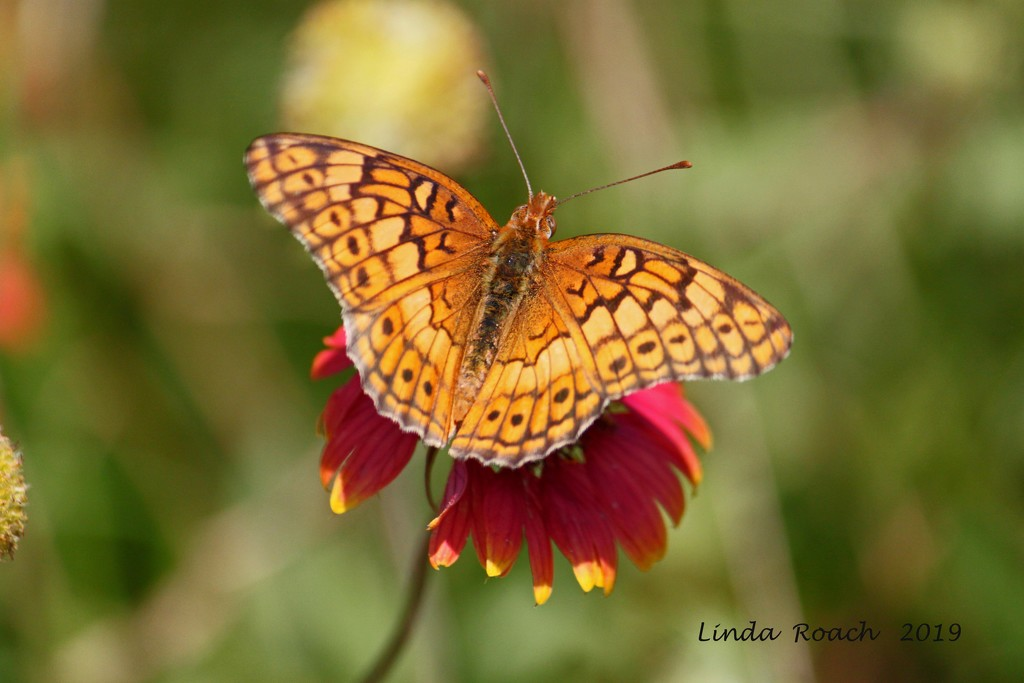 Butterfly on Wildflower by grannysue