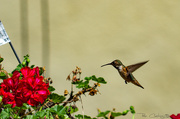 3rd Jul 2019 - Mama hummingbird