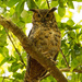 Great Horned Owl Mom! by rickster549