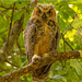 Great Horned Owl Baby! by rickster549