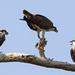 Osprey Family, Out on a Limb! by rickster549