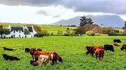 4th Jul 2019 - Cattle grazing