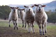 4th Jul 2019 - Curious Sheep