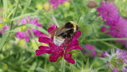 3rd Jul 2019 - White-tailed bumblebee