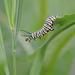 Monarch caterpillar ... stretching it out! by fayefaye