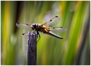 4th Jul 2019 - Four spotted chaser