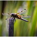 Four spotted chaser by mave