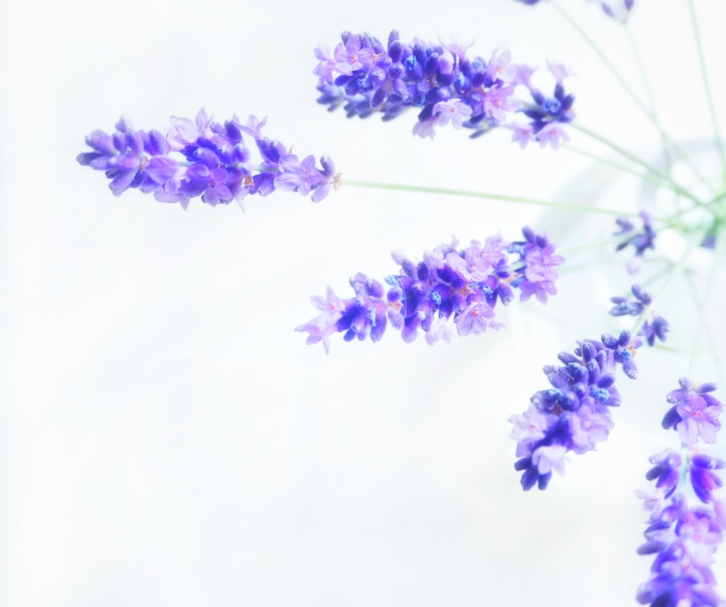Loving the lavender  by suesmith