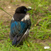 fledgling magpie  by shepherdmanswife