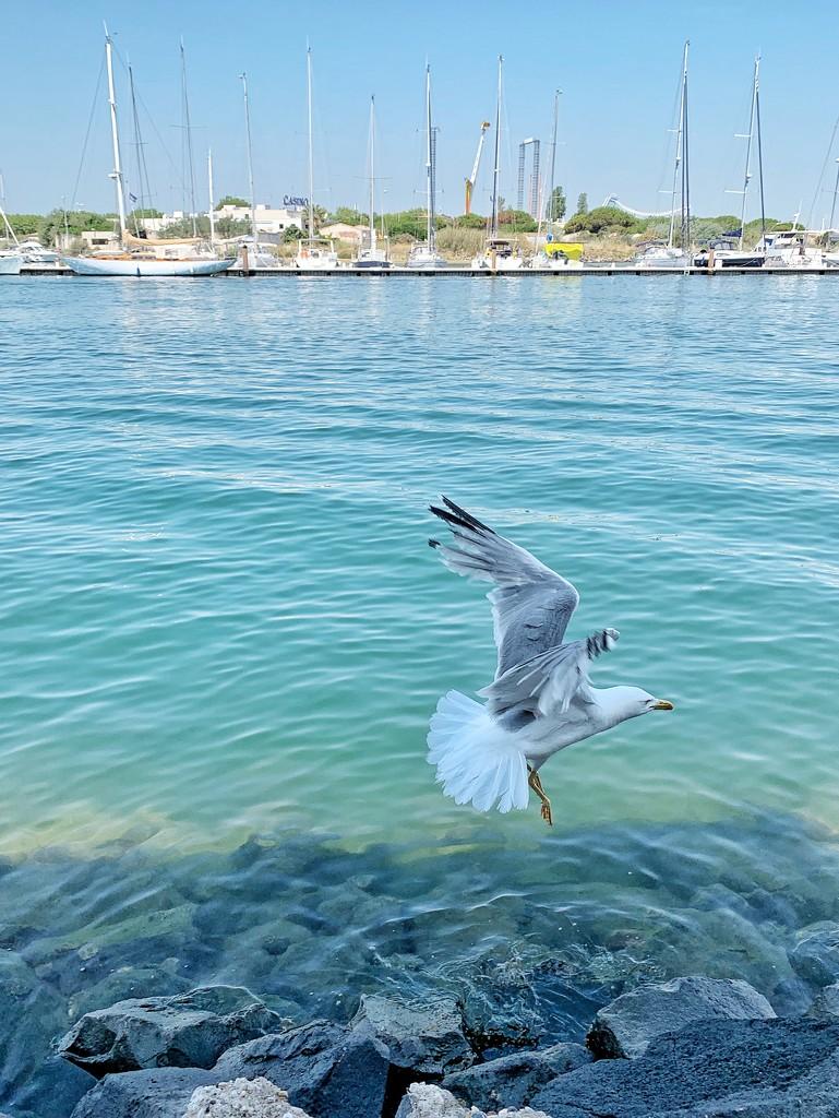 Seagull flight.  by cocobella