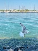 5th Jul 2019 - Seagull flight.