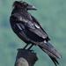 Common Raven by annepann