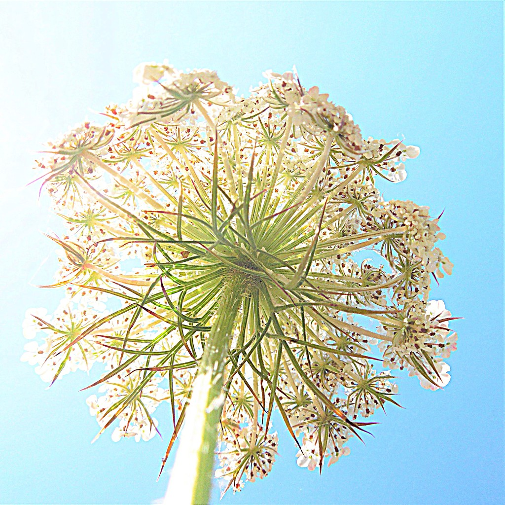 Umbel in the sun by etienne