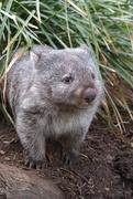 5th Jul 2019 - Wombat