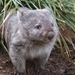 Wombat by kgolab