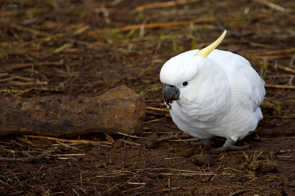 Sulphur-crested cockatoo by kgolab