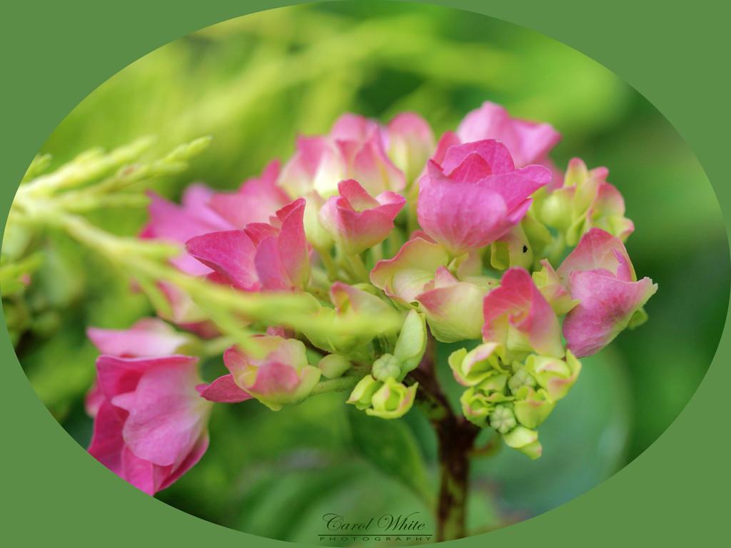 Hydrangea by carolmw