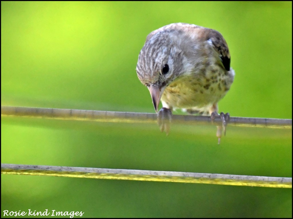 Young chaffinch by rosiekind