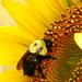 Bumblebee macro by homeschoolmom