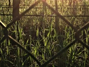 5th Jul 2019 - Morning through the fence