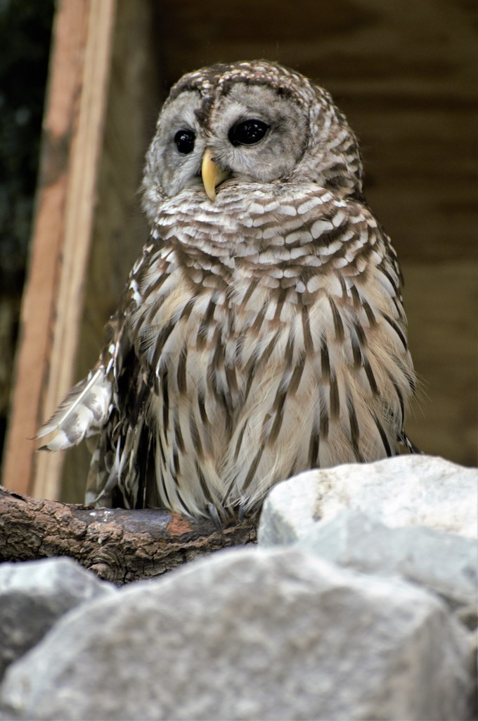 Barred Owl by chejja