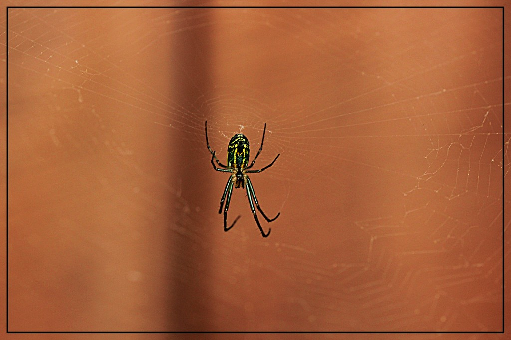 Black and Yellow Garden Spider by olivetreeann