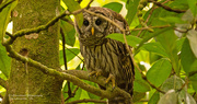 5th Jul 2019 - Barred Owl, Peeking From Behind the Branch!