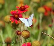 5th Jul 2019 - White Butterfly