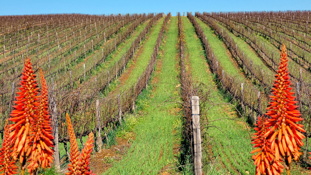Vineyards waiting to be pruned. by ludwigsdiana