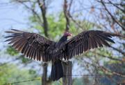 4th Jul 2019 - Turkey Vulture Power