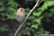 6th Jul 2019 - Sweet little chaffinch