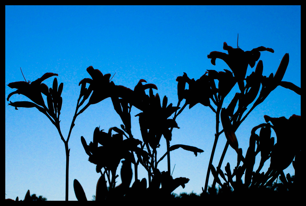 Lily silhouettes by mittens