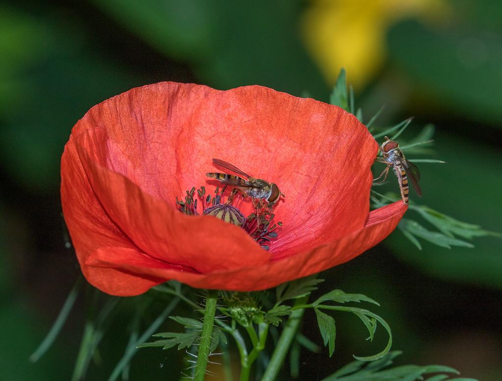 Still Enjoying The Poppy  by hazydaze