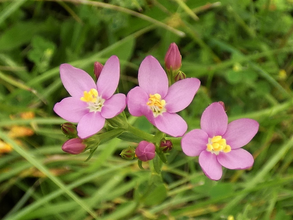 Common Centaury by julienne1