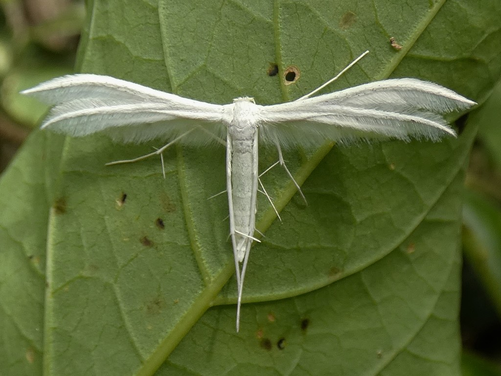White Plume Moth by julienne1