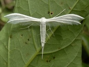 5th Jul 2019 - White Plume Moth