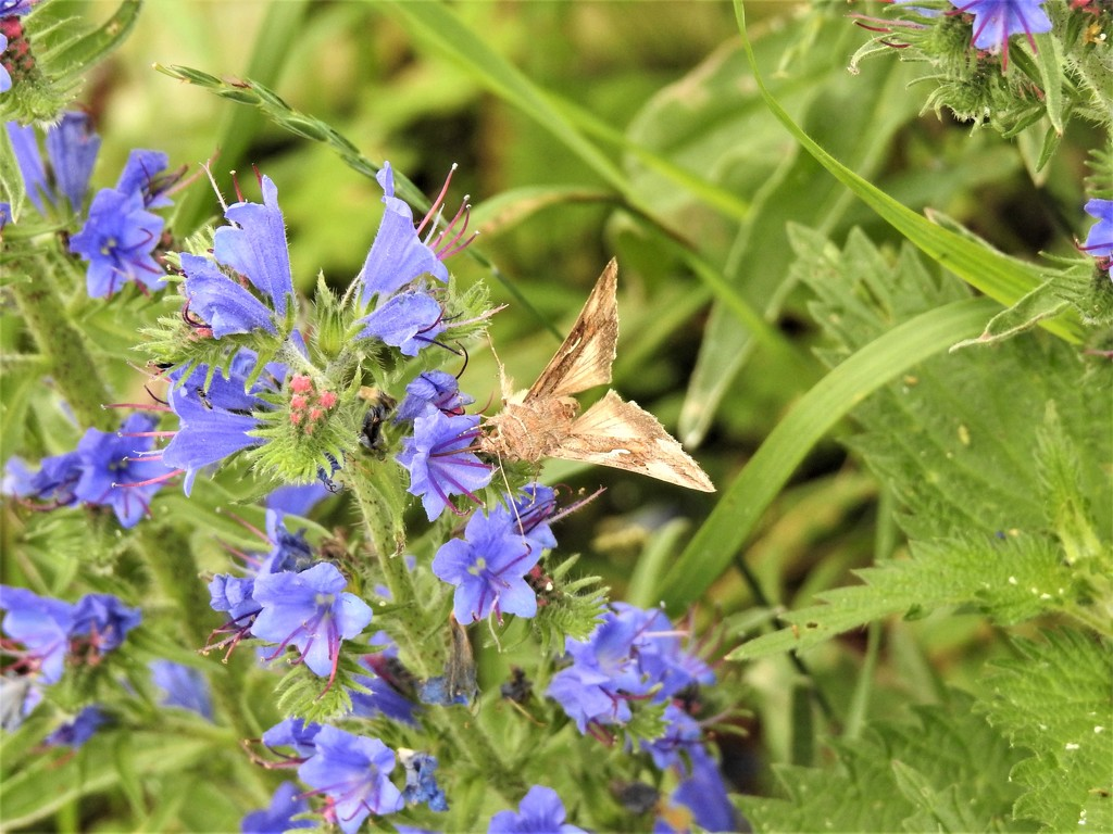 Silver Y Moth on Vipers Bugloss  by susiemc