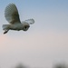 Barn Owl in hover mode. by padlock
