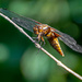 Broad Bodied Chaser by rjb71