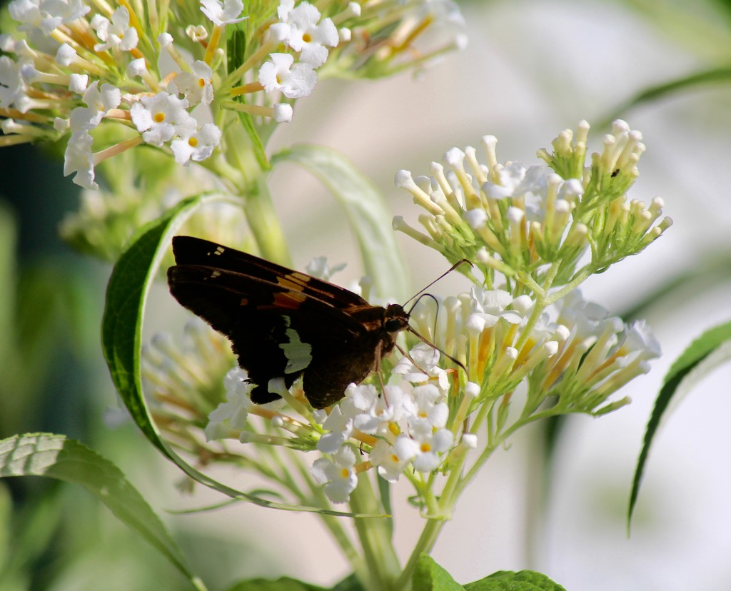 Resting Butterfly by essiesue